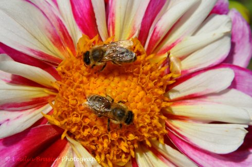 Photograph by Emilia Brasier Photography two bees on a dahlia